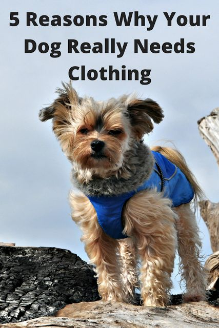 Do Dogs Really Need Clothing? Five Reasons Why Your Dog Benefits from Clothes. ~ Tenacious Little Terrier