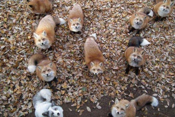 All kinds of foxes