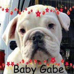 Adopt Gabriel Gabe On English Bulldog Puppies Boxer Bulldog