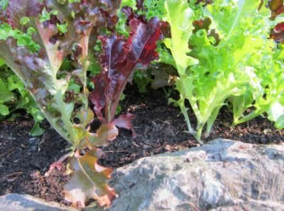 Thinning Vegetables and Herbs in the Garden