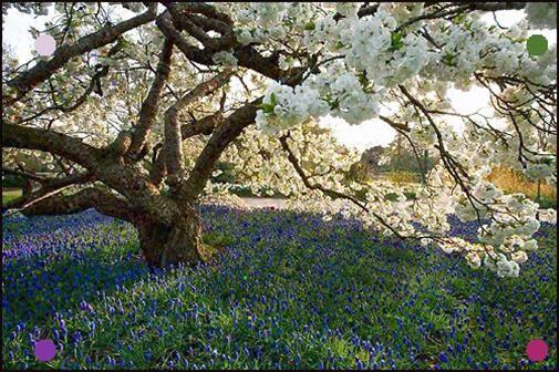 Rhs Garden Wisley Surrey Spring Fancy Cherry Prunus Shirotae Underplanted With Muscari Armeniacum Bloom Tree Easte In 2020 Flowering Trees Garden Trees Plants