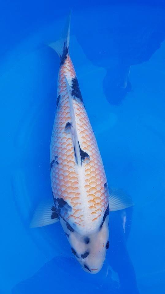 Kanoko Shiro Utsuri Koi Fish Koi Fish Pond Koi