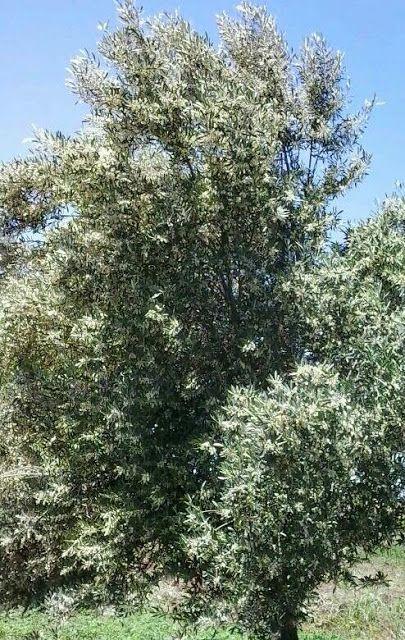 Bint Al Atlas : L'olivier ( Olea europaea ) http://bintalatlas.blogspot.com/2015/07/lolivier-olea-europaea.html