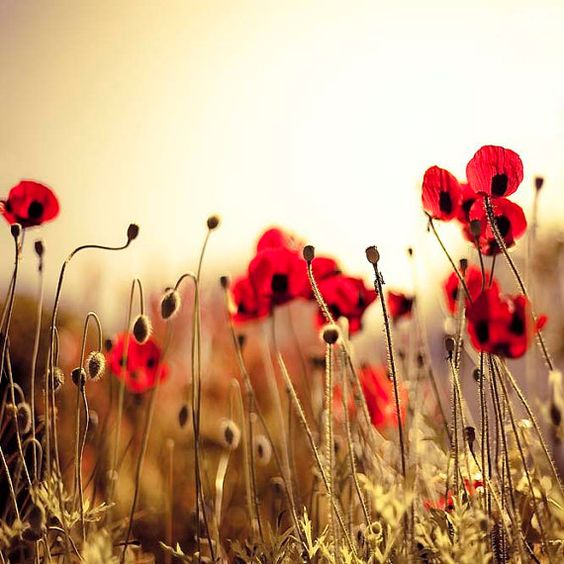 Red Poppy art Flower Photography fiery red spring by Raceytay on Etsy