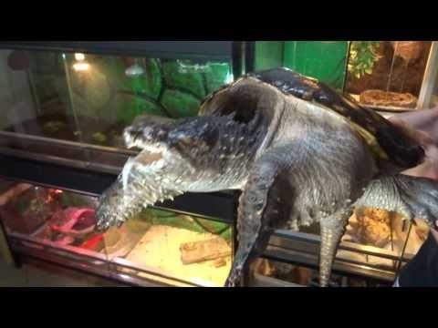 Zwierzeta Niebezpieczne Zolw Jaszczurowaty Chelydra Serpentina Youtube Fish Pet Animals Pets