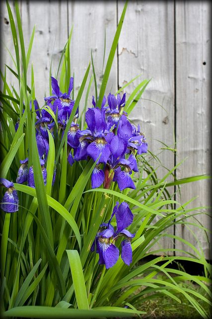 irises by the barn