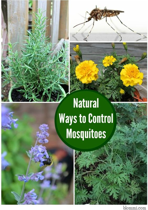 Natural Ways to Control Mosquitoes in your Yard   Gardens ...