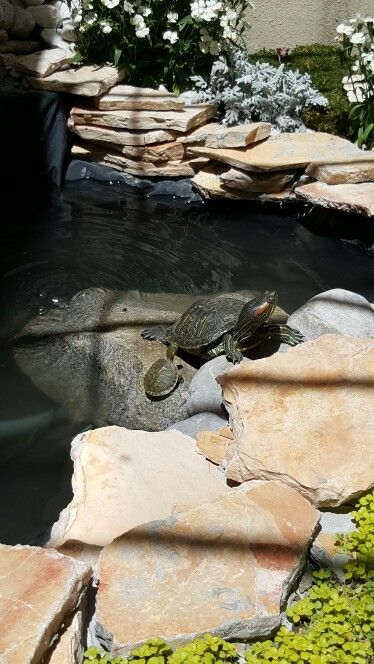 Tortugas Estanque