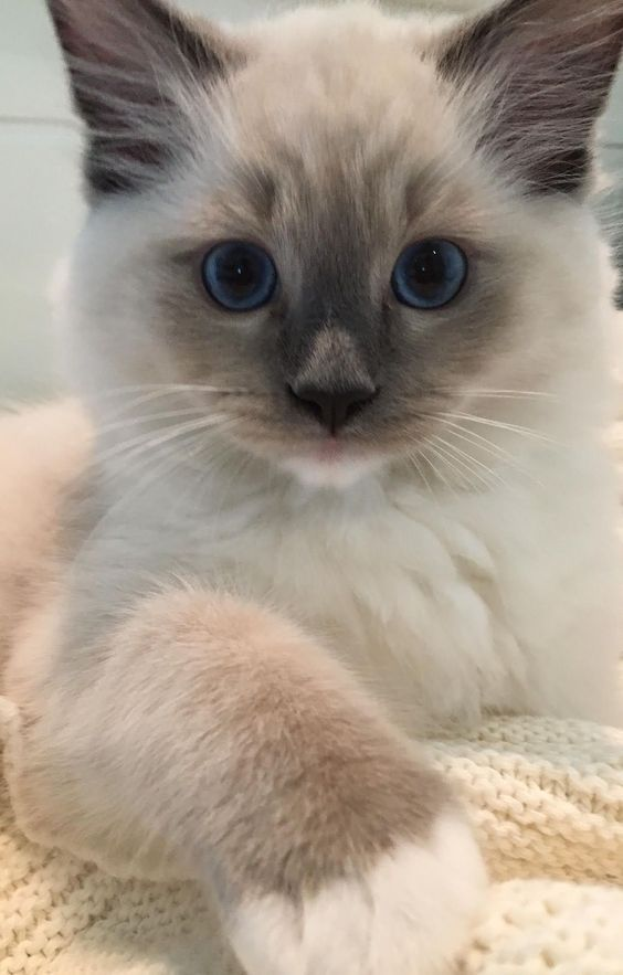 Tessa and Mitzi - Ragdoll Kittens of the Month Mitzi #ragdollcatbeautiful