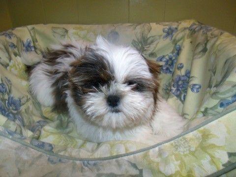 Shih Tzu Puppy For Sale In Paterson Nj Adn 59026 On Puppyfinder Com Gender Male Age 13 Weeks Old Shih Tzu Puppy Shih Tzu Puppies For Sale