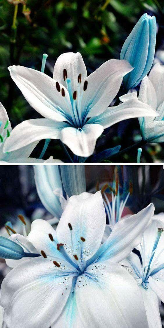 Lys Au Coeur Bleu Croquis De Fleurs Planter Des Fleurs Fleurs