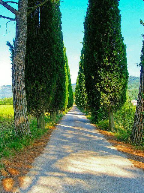 Straight and narrow    Typical lineup of cypress trees bordering a white gravel road, Tuscany, near Cortona.