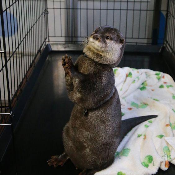 かわうそ初心者 写真部 в Твиттере: «2016.05.28 #本島イルカ村 #ダイスケ #otter https://t.co/o5uUKqmicN»