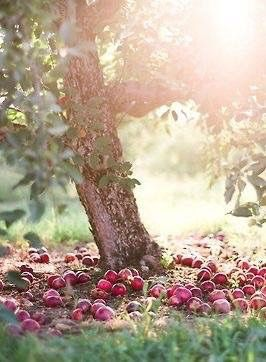 apple windfall plants