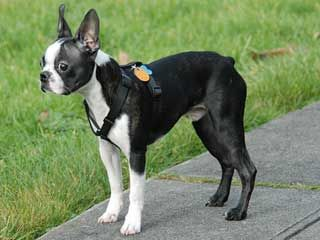 Boston Terriers are awesome.