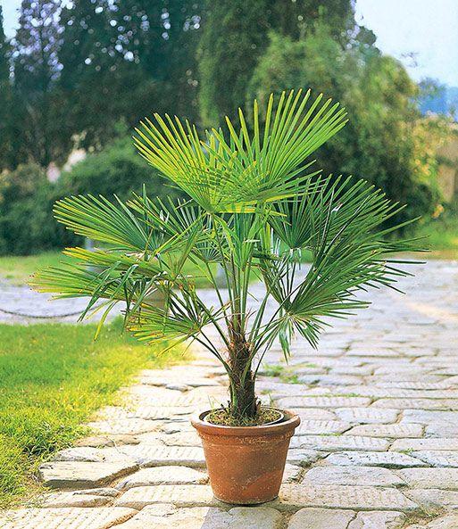 Winterharte Kubel Palme 1a Kubelpflanzen Baldur Garten Winterharte Pflanzen Garten Palmen Garten Kubelpflanzen