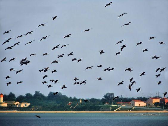 Bando de corvos marinho