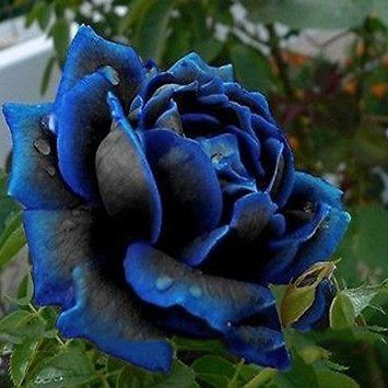 (Bonsai Rose) 1 Professional Pack, 50 Seeds / Pack, New Midnight Supreme Rose Bush Flower