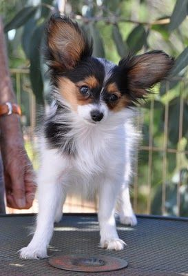 I'd really love another papillon pup!
