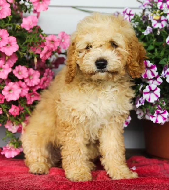 Bella F1b Generation Cockapoo Puppy For Sale In Millersburg