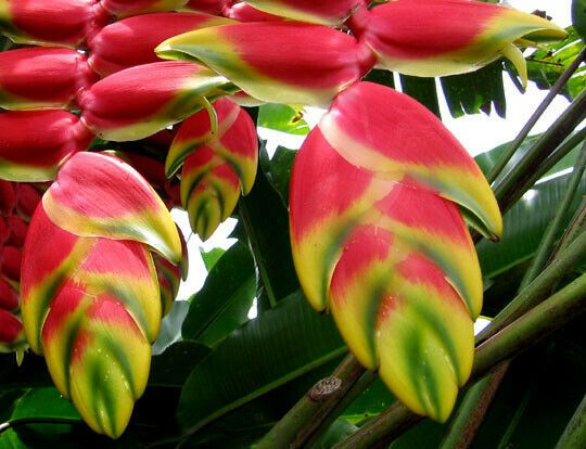 Details About 10 Pink Green Lobster Claw Seeds Heliconia Flower Seed Ornamental Tropical 358 In 2020 Heliconia Flower Flower Seeds Heliconia Plant