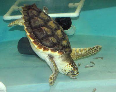 Sea turtle Hospital at South Carolina Aquarium  And they have a blog.