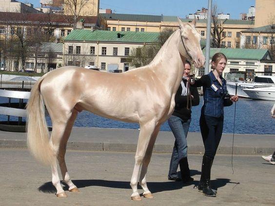 Самая редкая и удивительная масть - Изабелловая или Кремовая лошадь