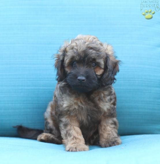 Hershey Cavapoo Puppy For Sale In New Holland Pa Lancaster Puppies Cavapoo Puppies Cavapoo Puppies For Sale Lancaster Puppies