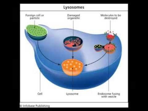 Lysosomes Biology College Life Molecules