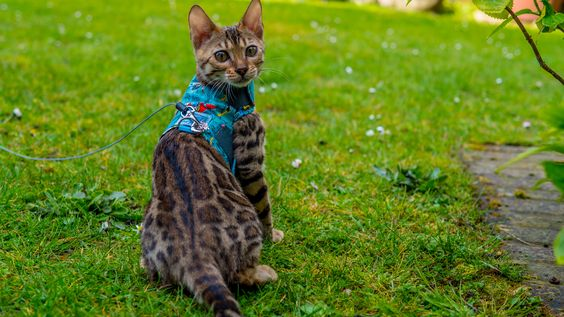 Sophie the Bengal starts her Leash Training http://ift.tt/1qsAbKe
