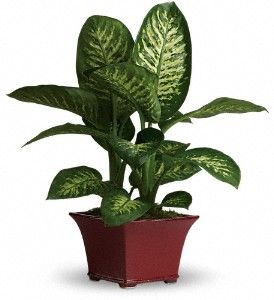 Dieffenbachia otherwise known as dumbcane is a popular houseplant kept in homes to purify the - Most popular house plants ...