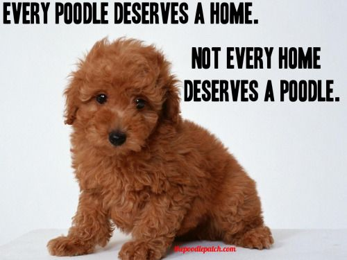 Does your Poodle help make your home?