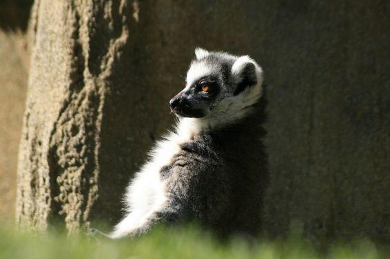 Lemur catta II by Herbert Seiffert on 500px