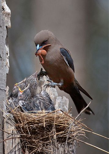 Dusky Woodswallow, Artamus cyanopterus, and nestlings, Australia