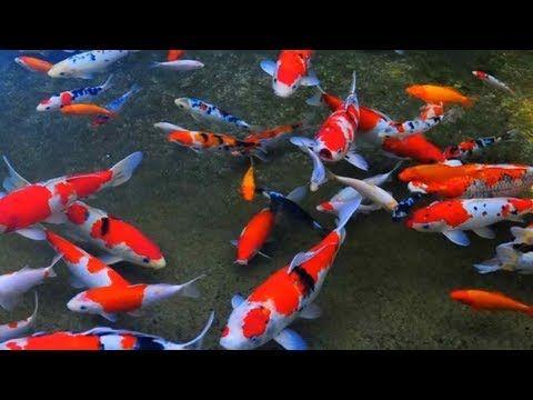 Kolam Ikan Koi Besar Yang Cantik Dan Sederhana Youtube Ikan