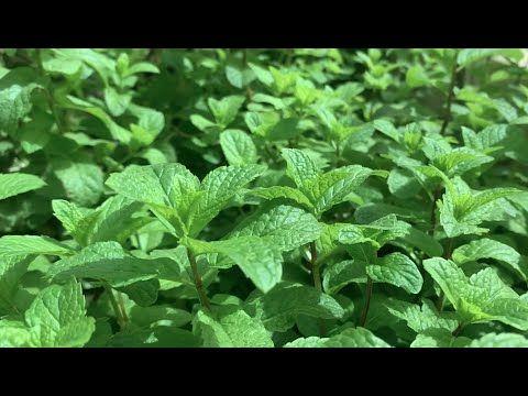 أسهل 3 طرق لزراعة النعناع بتربة او بدون تربة How To Grow Mint Very Easily Youtube Herbs Farm Greenhouse