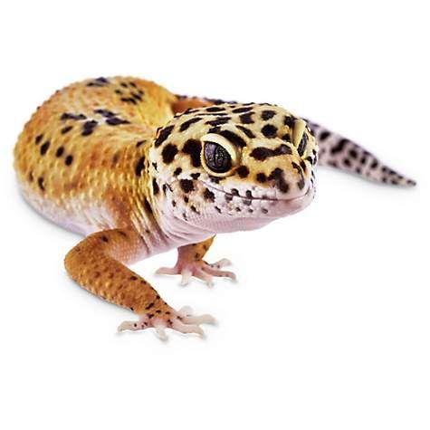 Leopard Geckos For Sale Buy Pet Leopard Geckos Petco Leopard Gecko Gecko Buy Pets