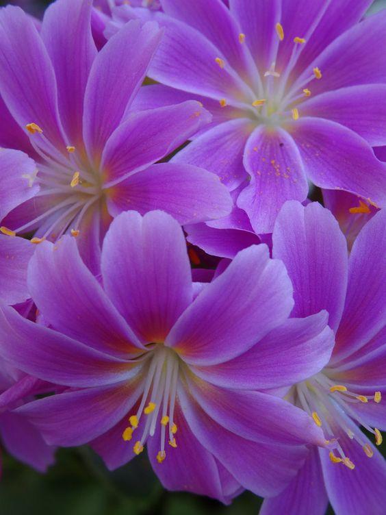 Purple Lewisia Cotyledon:
