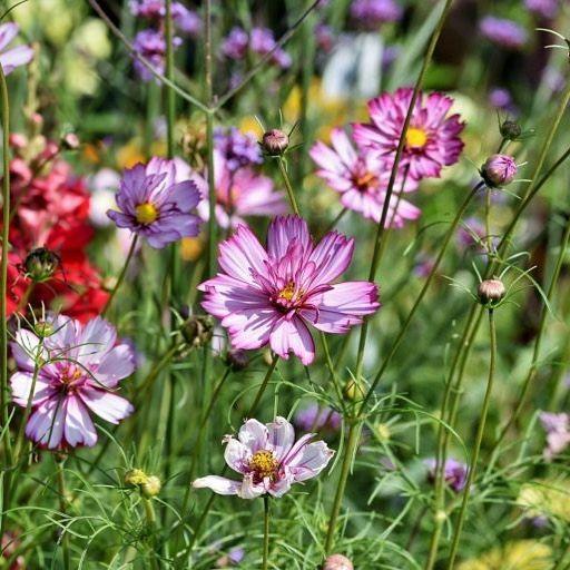 Cosmea Gehort Zu Den Schonsten Sommerblumen Im Garten Ihre Vielen Zarten Bunten Bluten Erfreuen Nicht Nur Das Gartner Herz Sondern Bieten Auch B Resim Garten