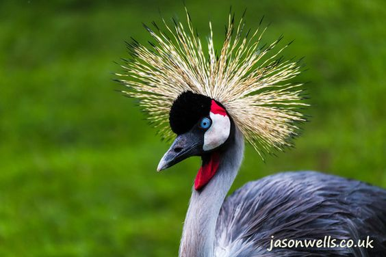 Beautiful Grey crowned crane. See the rest of my wildlife images in full size by clicking on the thumbnail.  They are also available to buy in a variety for formats or as a digital download without the watermark.