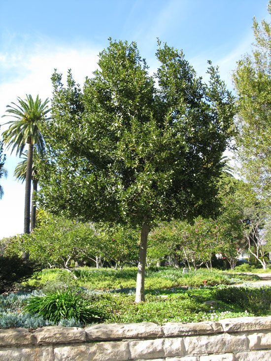 Sweet bay laurel tree is a good compact evergreen tree for Small sized evergreen trees