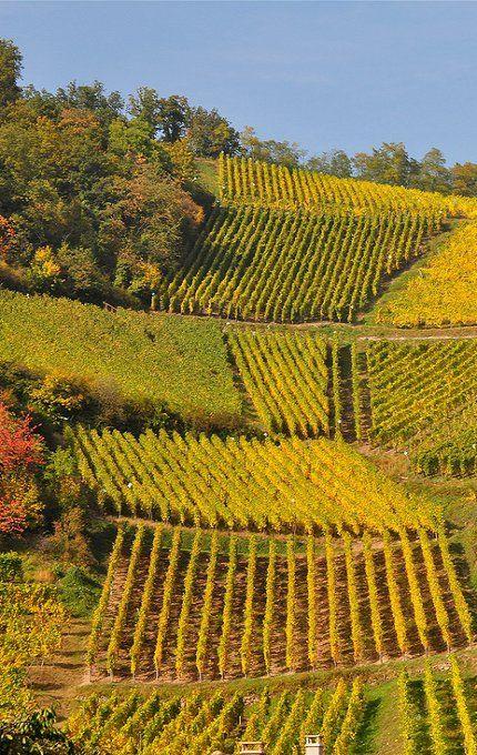 Niedermorschwihr, vignoble d'Alsace
