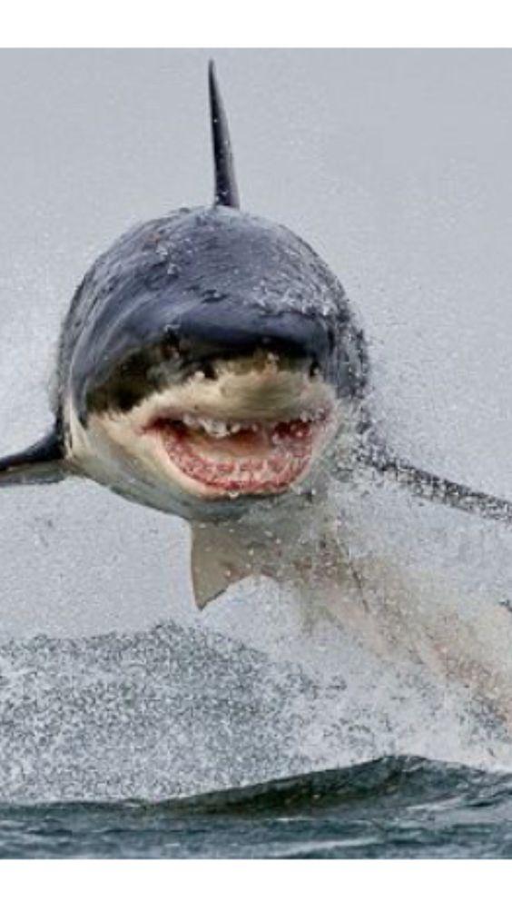 海面から飛び出るホホジロザメ