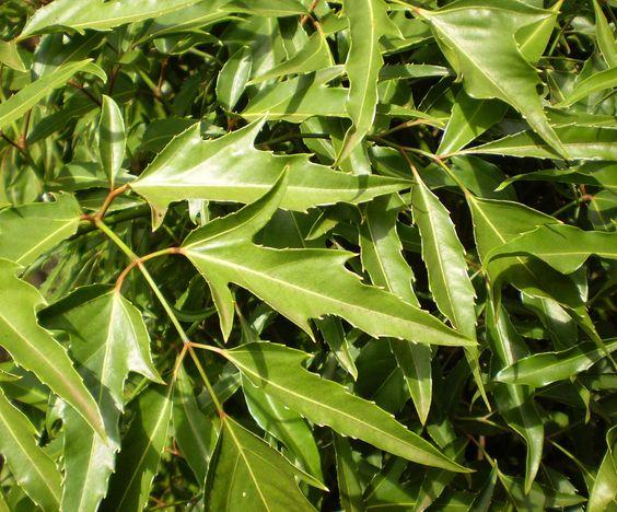 Fruticosus leaf - Đinh lăng – Wikipedia tiếng Việt