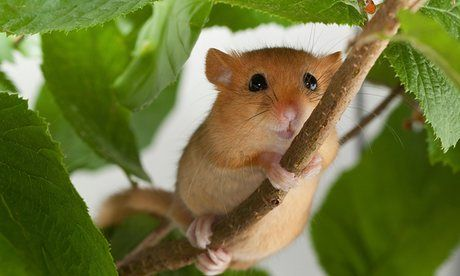 Britain's dormice have declined by a third since 2000, report shows | Environment | The Guardian  Effects of habitat loss and climate change mean the future of the tiny native mammal is uncertain