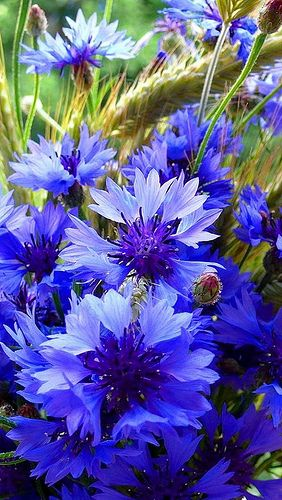 Beautiful Blue Cornflowers:
