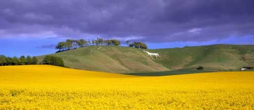 Ed Collacott- Wiltshire has 11 white horses carved into the escarpment of the chalk downland and this one, situated on Cherhill Down between the towns of Calne and Marlborough, is a prominent feature for miles around. It is carved just below ancient earthworks known as Oldbury Castle.