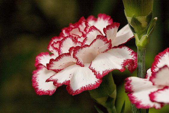 Dianthus caryophyllus or Carnation: The national flower of Monaco ( Image…