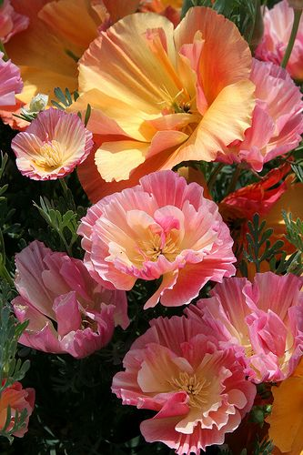mix of California poppies: