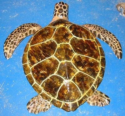 Green Turtles and Hawksbill Turtles by Rick Hardy Fish Taxidermist ...
